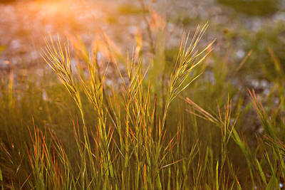 Photograph - Grasses by Mary Jo Allen