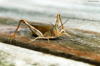 Photograph - Grasshopper 0001 by Kevin Chippindall