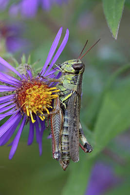 Photograph - Grasshopper Eating An Aster by Doris Potter