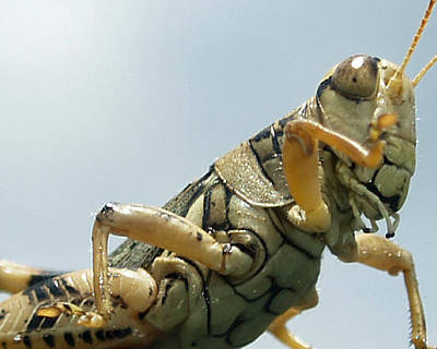 Photograph - Grasshopper II by James Granberry