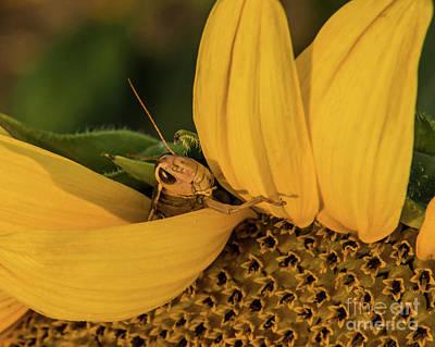 Photograph - Grasshopper In Sunflower by John Greco