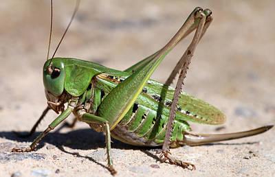 Close Photograph - Grasshopper by Jan Boesen
