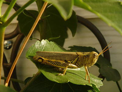 Grasshopper Art Print by John Julio
