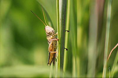 Bald Eagle Photograph - Grasshopper by John Ohm