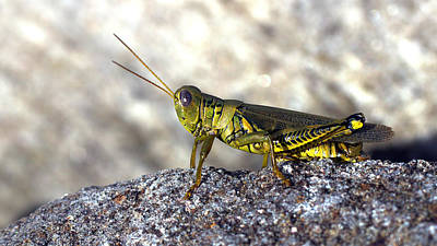 Photograph - Grasshopper by Joseph Skompski