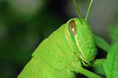 Photograph - Grasshopper by Larah McElroy