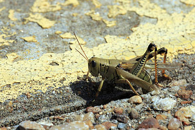 Grasshopper Laying Eggs Art Print
