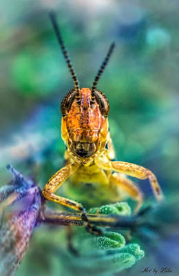 Photograph - Grasshopper  by Lilia D
