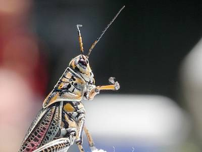 Photograph - Grasshopper On Alert by Belinda Lee