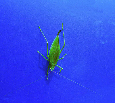 Grasshopper Mixed Media - Grasshopper On Blue by Keith Childers