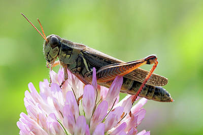 Photograph - Grasshopper On Clover by Doris Potter
