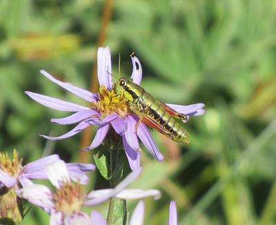 Photograph - Grasshopper On Purple Flower by Karen Molenaar Terrell