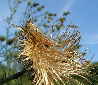 Art Print featuring the photograph Grasshopper On Throne Of Straw by Jeanette Oberholtzer