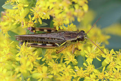 Photograph - Grasshopper On Yellow by Doris Potter