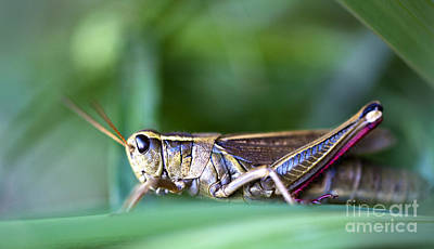 Photograph - Grasshopper Profile by Glenn Gordon