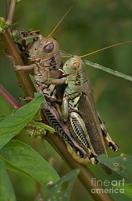 Grasshopper Sex Art Print by Warren Sarle