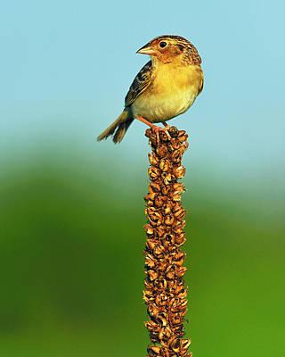 Grasshopper Sparrow Art Print by Tony Beck