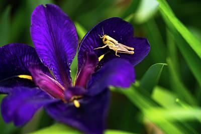 Grasshopper Visiting Iris Flower Art Print by Douglas Barnett