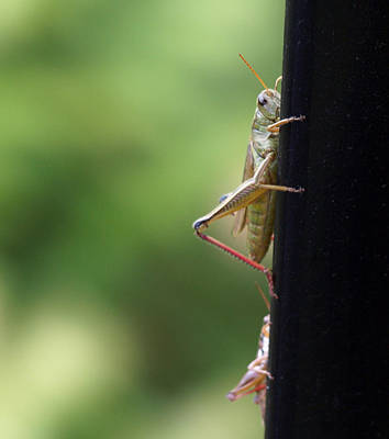 Photograph - Grasshoppers by Katherine Huck Fernie Howard