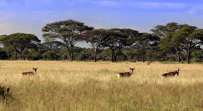 Photograph - Grasslands Of The Serengeti Hartebeest by Joseph G Holland