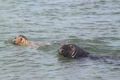 Photograph - Gray And Harbor Seals Cape Cod National Seashore by John Burk