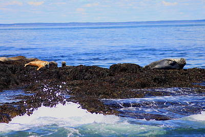 Photograph - Gray And Harbor Seals by John Burk