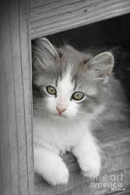 Photograph - Gray And White Kitten by E B Schmidt