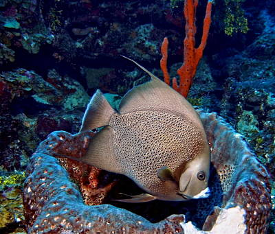 Photograph - Gray Angel Fish And Sponge by Amy McDaniel