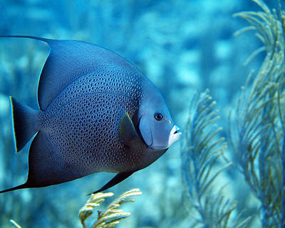 Photograph - Gray Angelfish, U. S. Virgin Islands by Pauline Walsh Jacobson