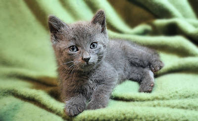 Photograph - Gray Baby Kitten by Ally White