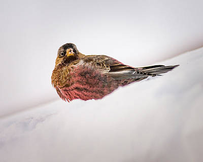 Photograph - Gray Capped Rosy Finch by John Brink