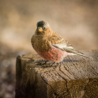 Photograph - Gray Capped Rosy Finch On Block #1 by John Brink