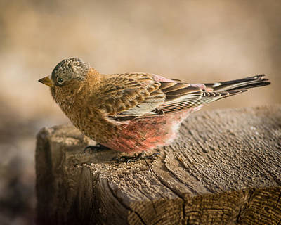 Photograph - Gray Capped Rosy Finch On Block #2 by John Brink