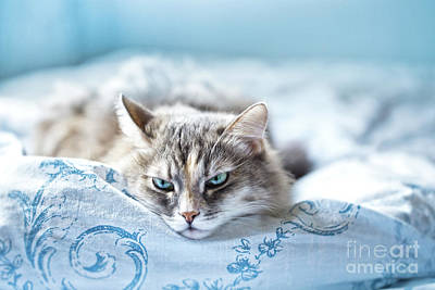 Cats Photograph - Relaxing Gray Cat  by Oksana Ariskina