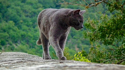 Photograph - Gray Cat Stalking by Gary Karlsen