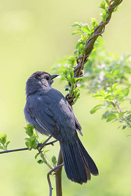 Photograph - Gray Catbird 2018 by Bill Wakeley