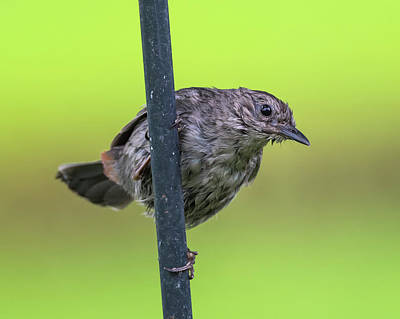 Photograph - Gray Catbird After The Rain #2 by Van Sutherland