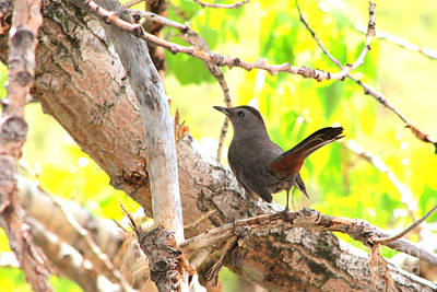 Photograph - Gray Catbird by Alyce Taylor
