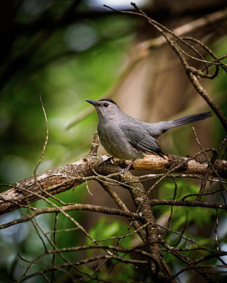 Photograph - Gray Catbird by Bob Orsillo