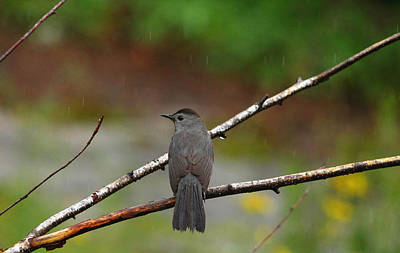Photograph - Gray Catbird by Debbie Oppermann
