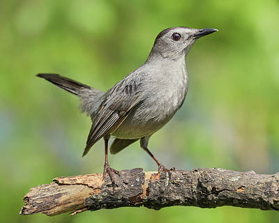 Photograph - Gray Catbird   Dumetella Carolinensis by Jim Hughes