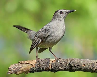 Photograph - Gray Catbird   Dumetella Carolinensis by Jim Hughes