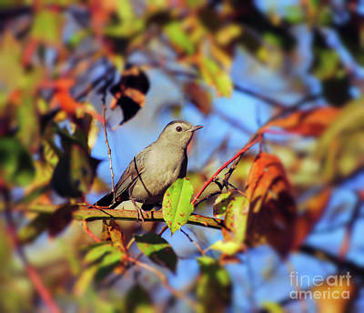 Photograph - Gray Catbird Framed By Fall by Kerri Farley