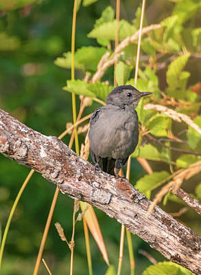 Photograph - Gray Catbird by Loree Johnson