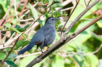 Photograph - Gray Catbird by Michael Peychich