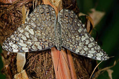 Photograph - Gray Cracker Butterfly by JT Lewis