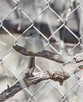 Photograph - Gray Flycatcher by Dee Carpenter