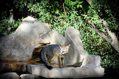 Photograph - Gray Fox 2 by Debra Martz