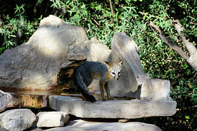 Photograph - Gray Fox 4 by Debra Martz