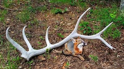 Photograph - Gray Fox And Elk Antler by Joe Duket